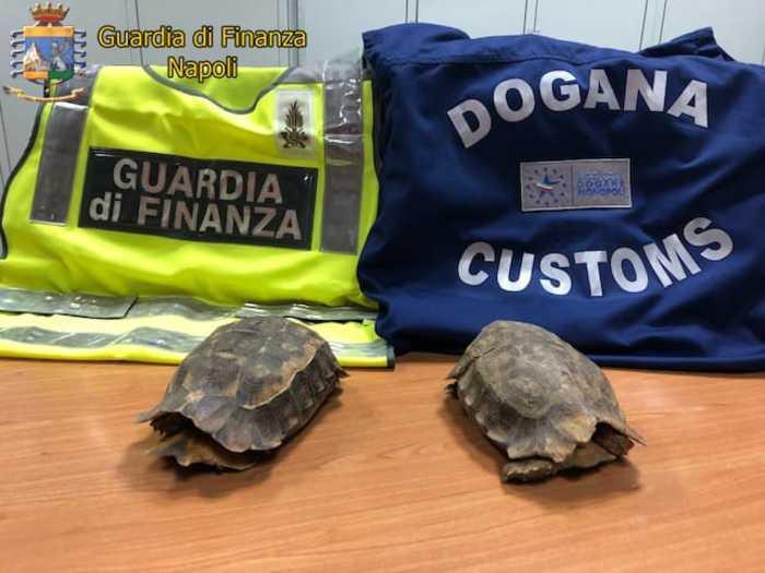 Due tartarughe, appartenenti a una specie protetta, sono state sequestrate dalla Guardia di Finanza e dall'Agenzia delle Dogane nell'aeroporto Capodichino di Napoli