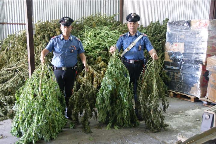 Piantagione di marijuana tra alberi di pesche a Sessa Aurunca (Caserta) scoperta dai carabinieri, tre arresti. Sequestrate circa 600 piante